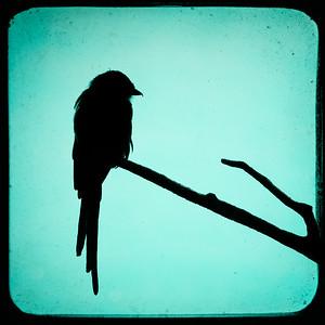 magpie shrike slihouette