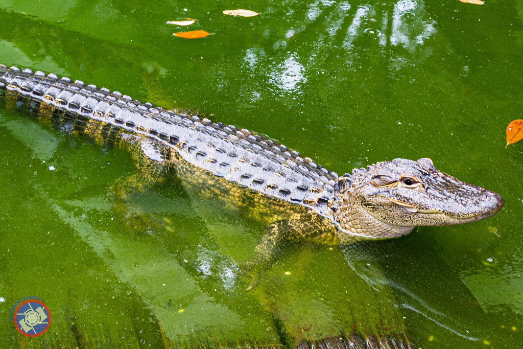 A Young Alligator in Georgia (©simon@myeclecticimages.com)