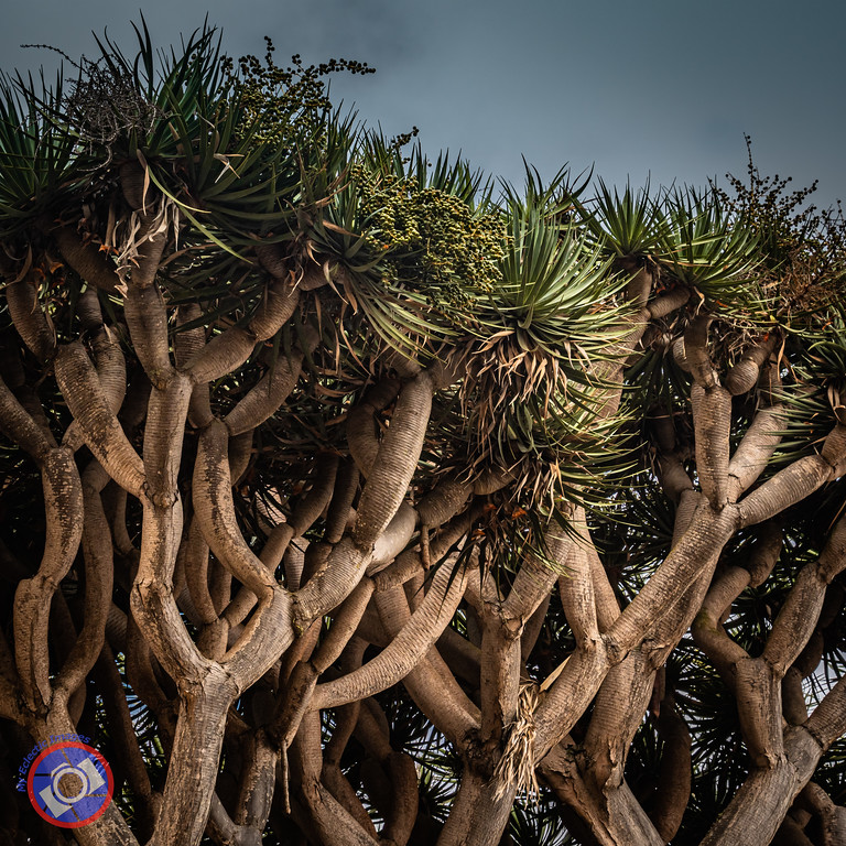 A Dragon Tree, Unique to Tenerife (©simon@myeclecticimages.com)