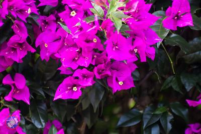 201601 - Panamanian Plants-1