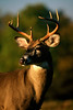 8PointBuck