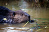 Beaver