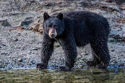 Black Bear Cub - Vogue