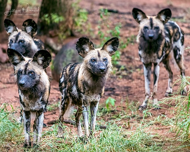Sosal Wild Dogs - pack