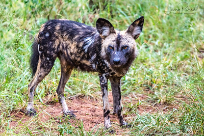 Sasol Wild Dogs - South Africa