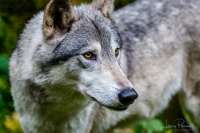 Timber Wolf - head shot