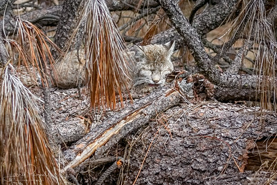 Bobcat - cat nap