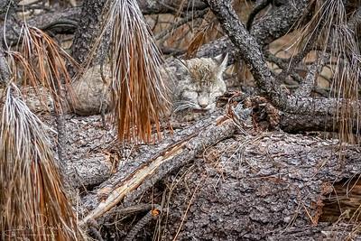 Bobcat - cat nap
