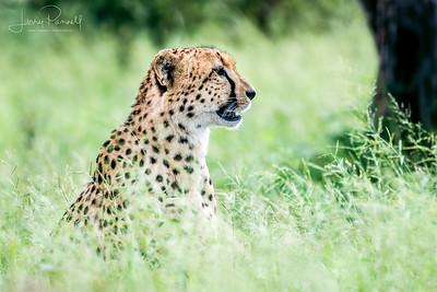 Cheetah - kruger