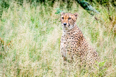 Cheetah - South Africa