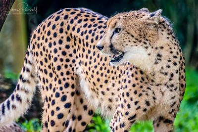 Cheetah - adult1