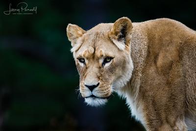 Lioness - head shot