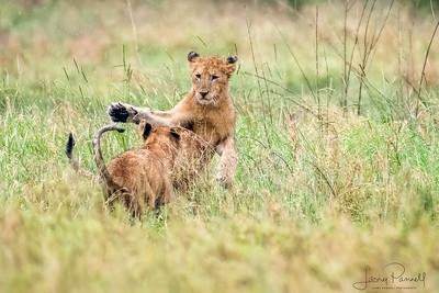 Lion Cubs - Kruger
