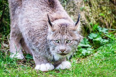 Canadian Lynx - Haines