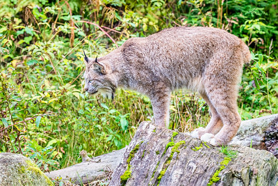 Canadian Lynx - hunting