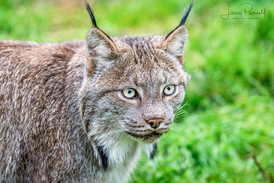 Canadian Lynx - head shot