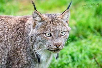 Canadian Lynx - head shot