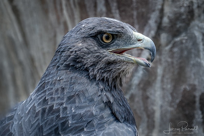 Grey Hawk - Head Shot
