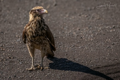 Red Tail Hawk - Costa Rica
