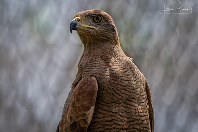 Savannah Hawk - Cartagena