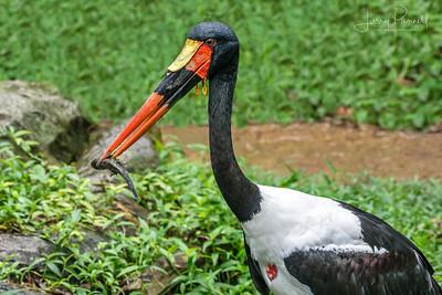 Saddle Billed Stork - Success