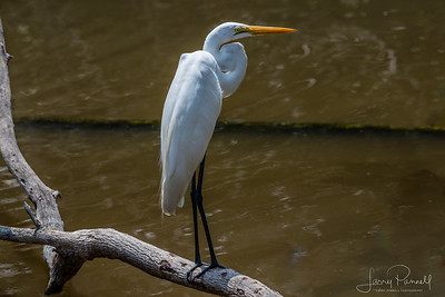 Great White Egret - Costa Rica