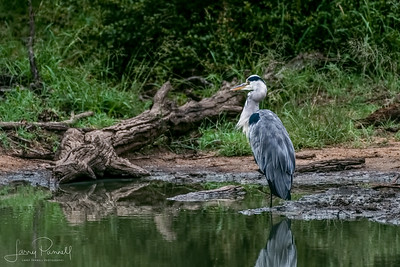 Grey Heron - South Africa