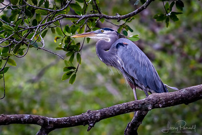 Great Blue Heron - Perched