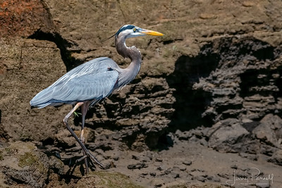 Great Blue Heron - Shore