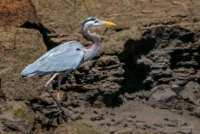 Great Blue Heron - Shore
