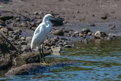 Snowy Egret - Torcoles River