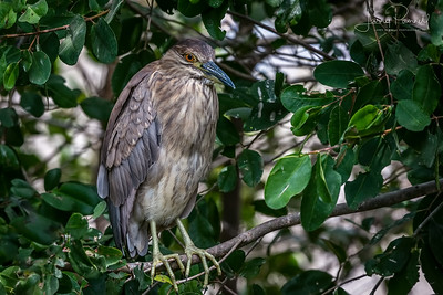 Green Heron - Costa Rica