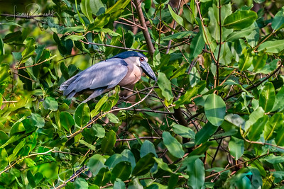 Boat Billed Heron - Side