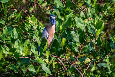 Boat Billed Heron - front