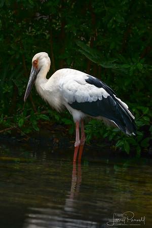 Oriental Stork - Wading