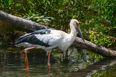 Oriental Stork  - On The Prowl