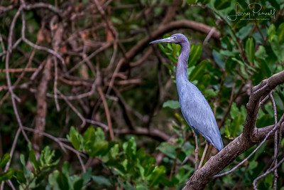Little Blue Heron - Perched
