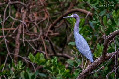 Little Blue Heron - Perched
