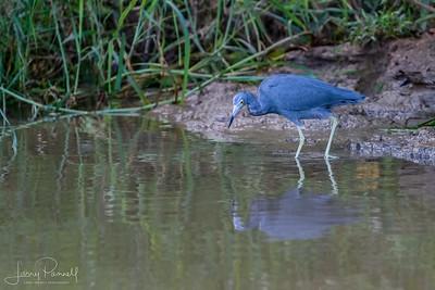 Little Blue Heron - Fishing