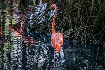 American Flamingo - Colombia
