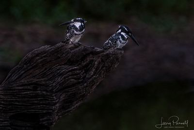 Two Pied Kingfishers - South Africa