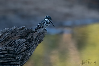 Pied Kingfishers - South Africa