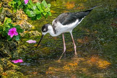 Black Necked Stilt - In the Rain