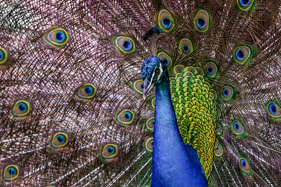 Indian Peacock - Plummage
