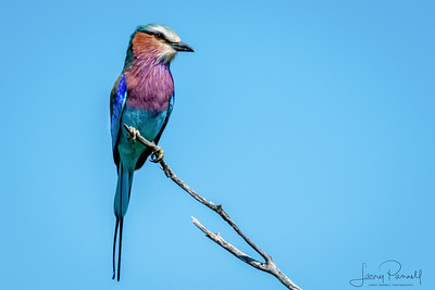 Lilac Fronted Roller - right