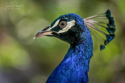 Indian Peacock - Head Shot