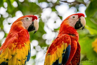 Scarlet Macaw - A Pair