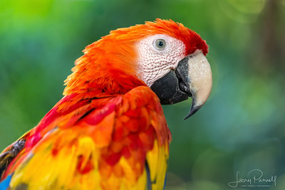 Scarlet Macaw - Head Shot