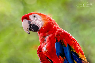 Scarlet Macaw - Costa Rica