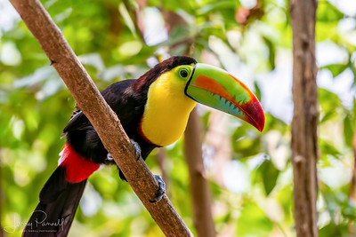 Keel Billed Toucan - Perched
